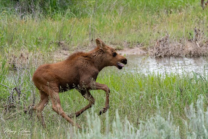 Twin Baby Moose in Grand Teton NP
