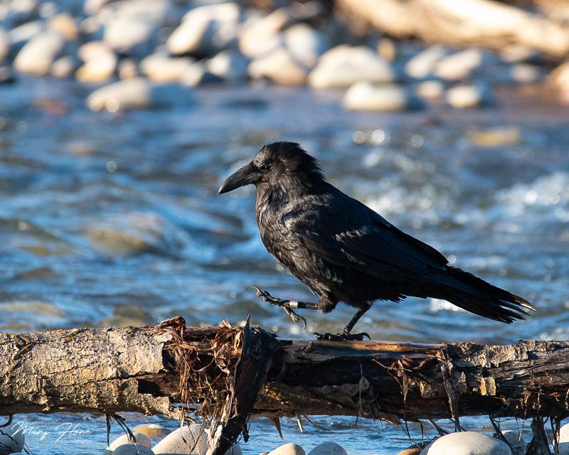 raven walking on a log