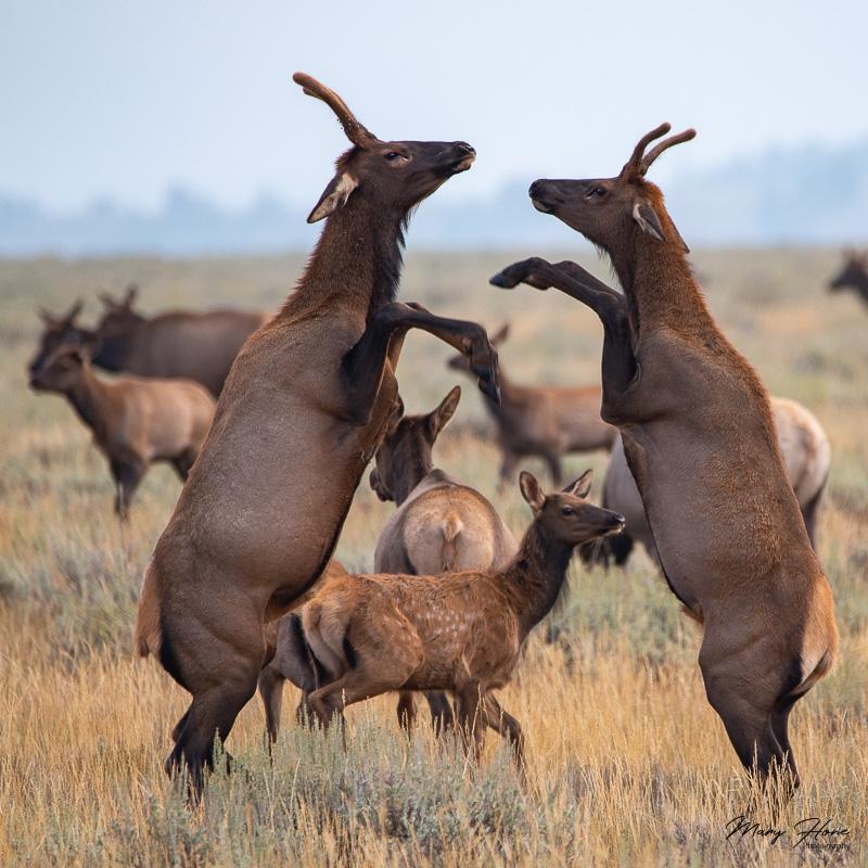 Spike elk sparring