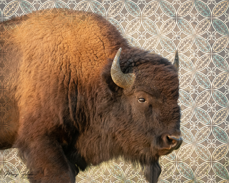 bison with blue background