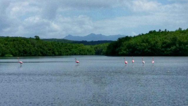 Flamingos on Laguna Guanaroca, Cienfuegos Cuba