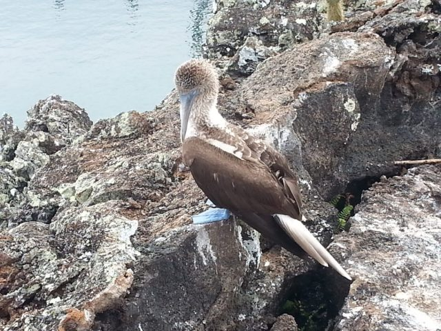 blue footed booby Galapagos cruise or island hopping