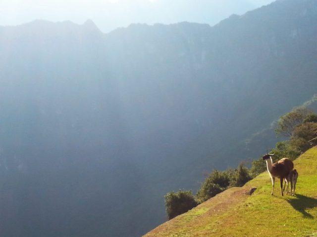 Llama at Machu Picchu enjoying the sunshine - photos of Machu Picchu