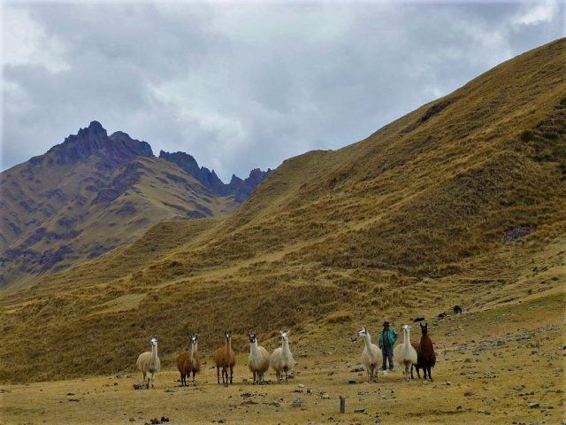 llamas on the trek to Machu Picchu
