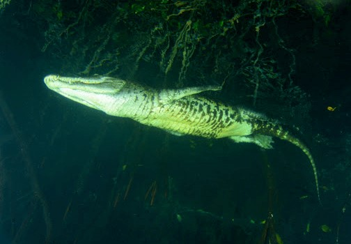 A larger crocodile underwater on a night dive with crocodiles in Tulum Mexico. Photo credit: Koox Diving