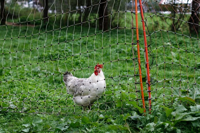 You could be volunteering abroad on a farm - chicken on an eco project - Worldpackers