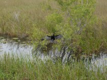 An anhinga drying it's feathers