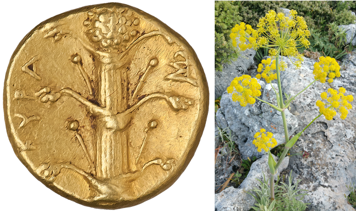 No, the Ancient Romans Didn't Overharvest Silphium to Extinction Because It  Was a Highly Effective Contraceptive - Tales of Times Forgotten