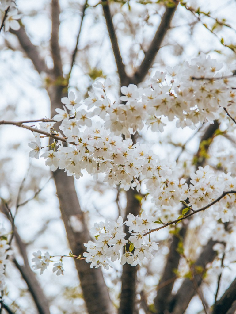 Cherry Blossoms In Chicago Talia S Bucketlist