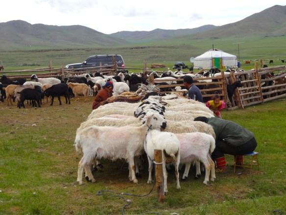 goat milking Mongolia