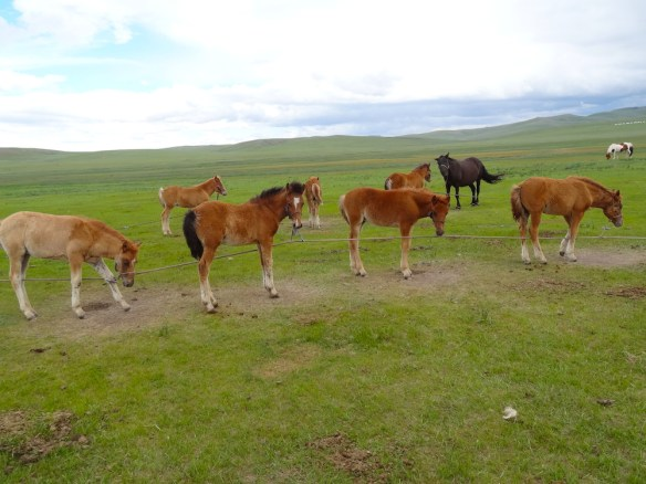 preparing foal for milking mares Mongolia