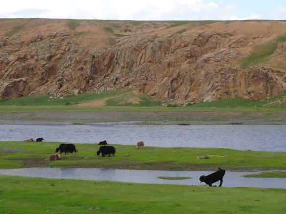 yak bending to drink Mongolia