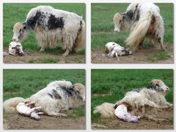 yak giving birth mongolia 2