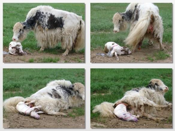 yak giving birth mongolia 2