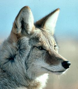 coyote tótem mágico