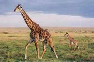 totem jirafa
