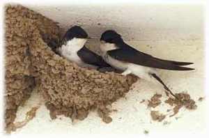 swallows fidelity