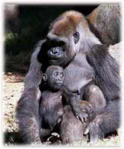 gorila tótem animal de poder