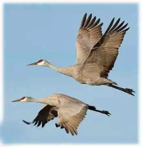 flyng cranes