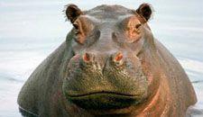 totem hippo