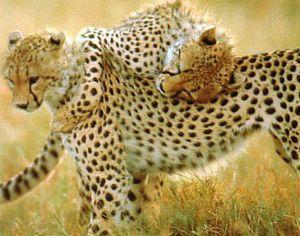 guepard totem