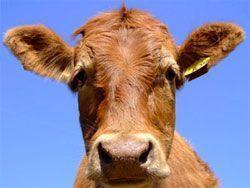 vaca tótem