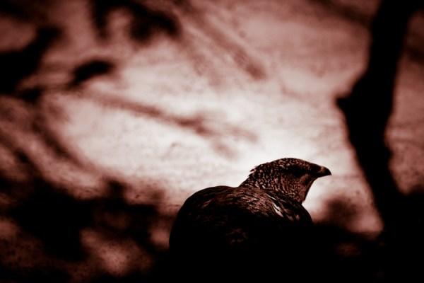 El Bosque - Surreal Wildlife Photography - Pheasant