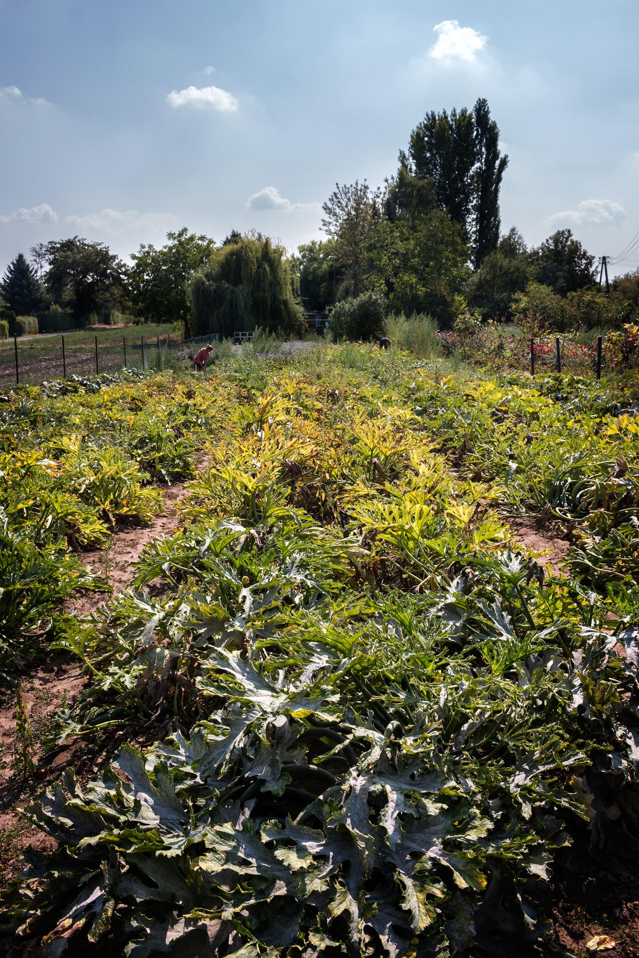 Freiland mit Süßkartoffelpflanzen