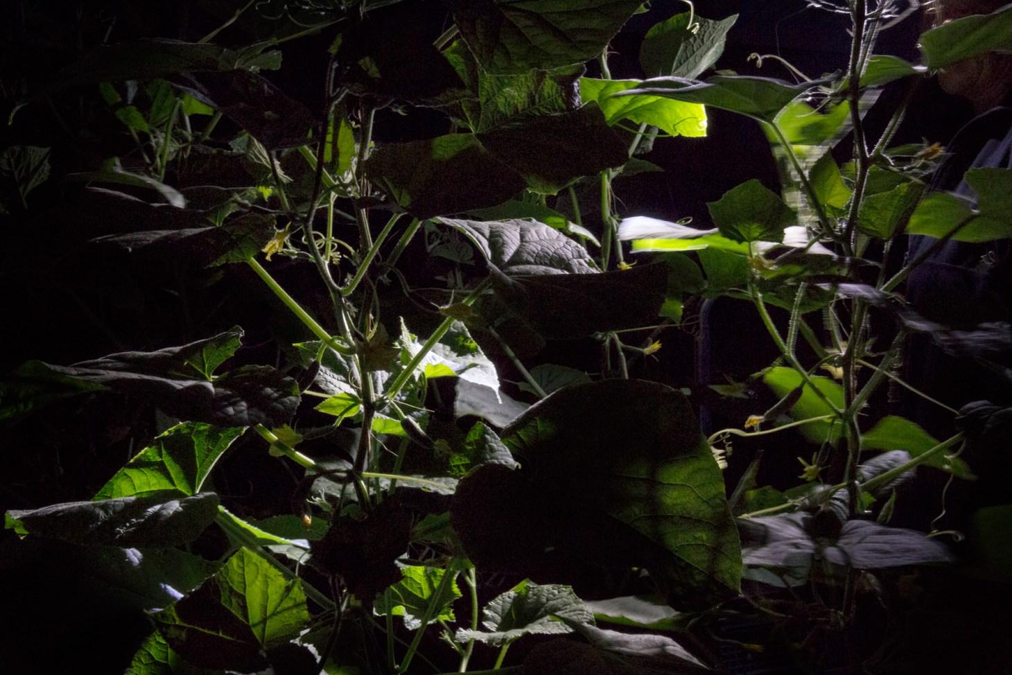 Nachts im Gurkenhaus