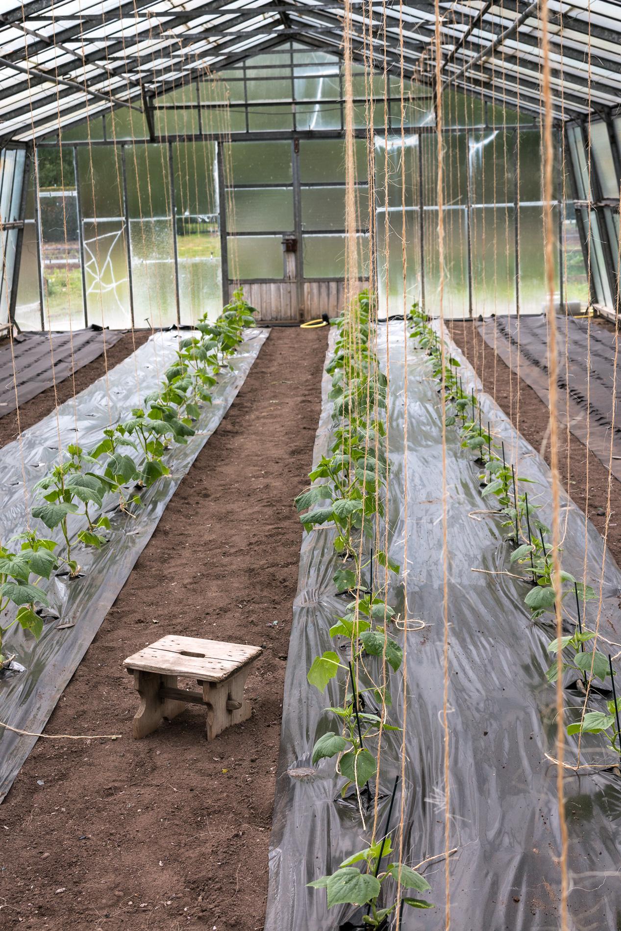 Gurkenpflanzen mit Kordeln
