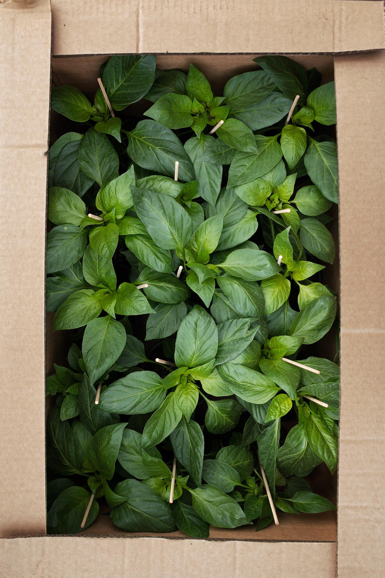 Karton mit Paprikapflanzen