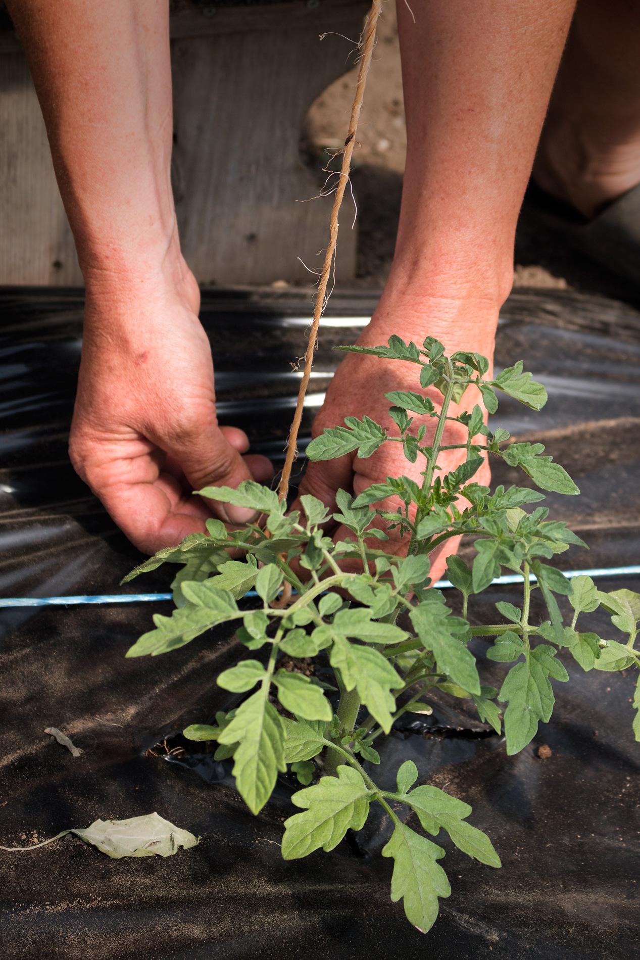 Hände Tommatenpflanze