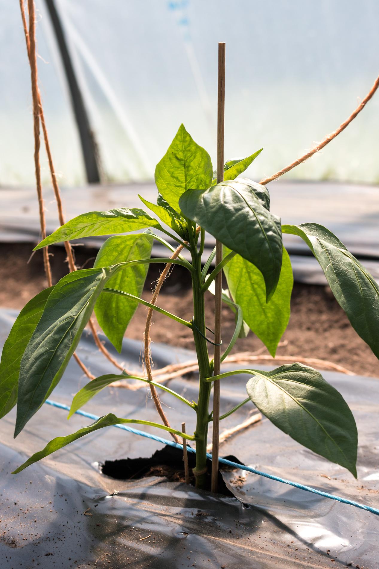 Paprikapflanze mit Kordel