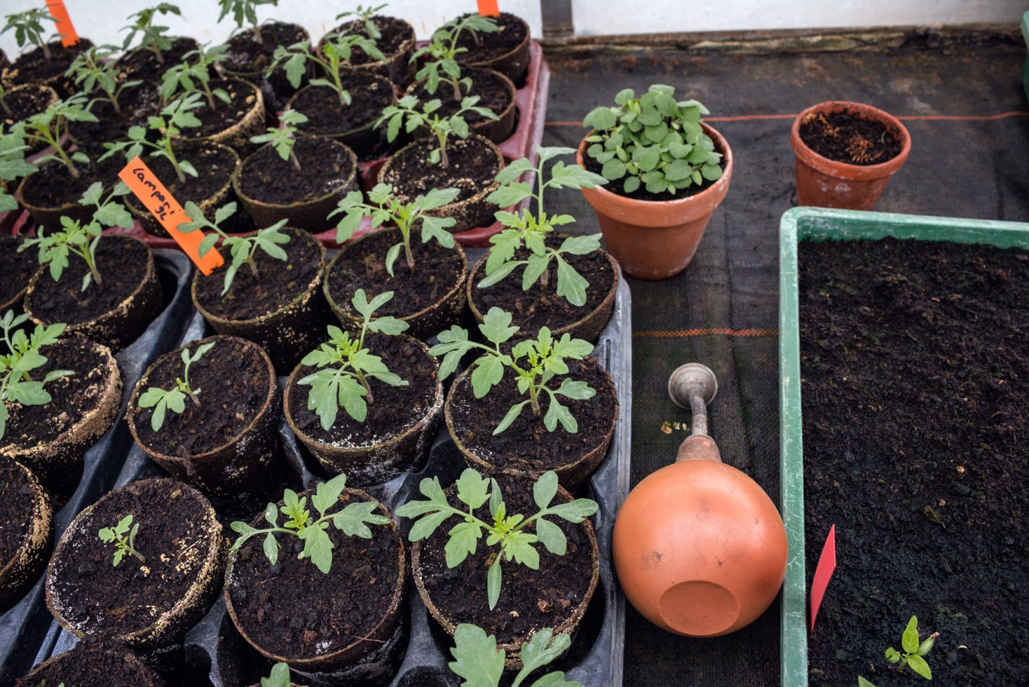 Tomatenpflanzenkinder