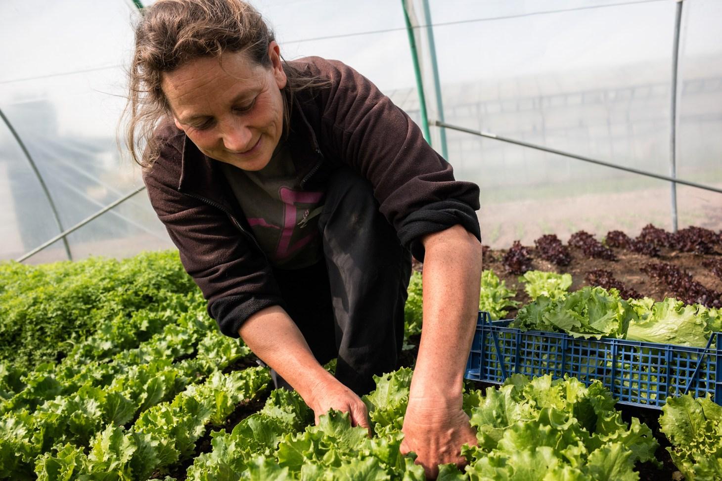 Asia-Salat ernten