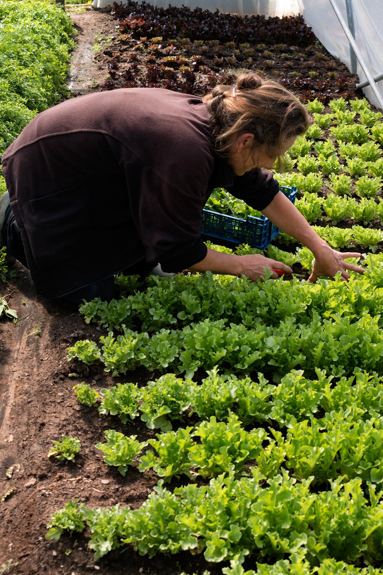 Salat schneiden