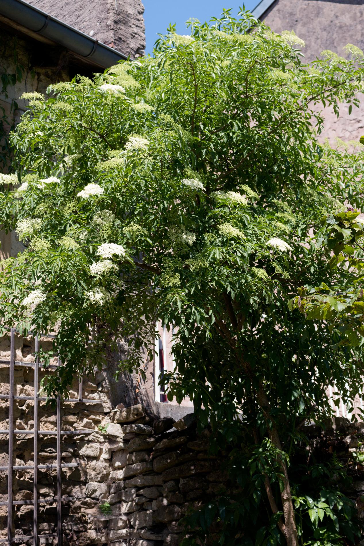 Holunderbusch