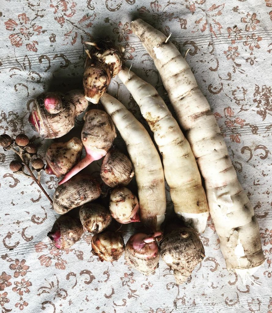 what is cassava root