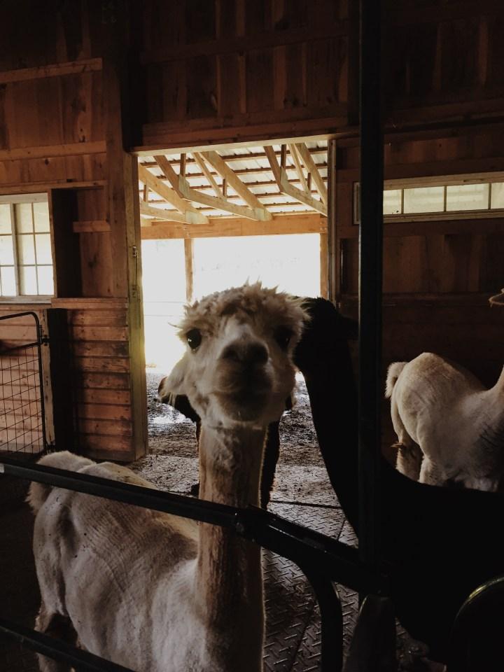 A Farm of Alpacas (+ 1 llama)!