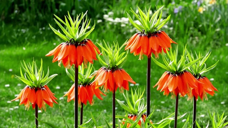 Crown Imperial