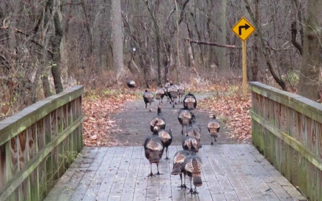 Following a gaggle of wild turkeys on the Highland Crossing Trail in Brighton