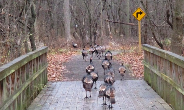 Following a gaggle of wild turkeys on the Highland Crossing Trail in Brighton