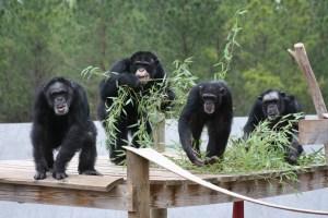 Chimp Haven Chimpanzee Group