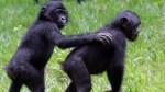 130104023447-lola-ya-bonobo-1-horizontal-gallery