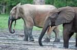 forest-elephants-loxodonta-cyclotis-in-the-dzanga-sangha-reserve-central-african-republic_2c93