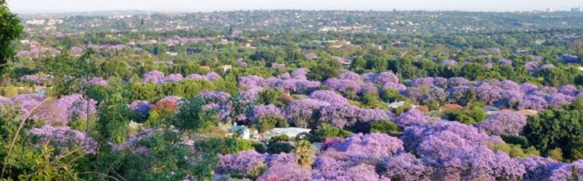 Johannesburg Jacaranda 1