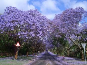 Johannesburg Jacaranda