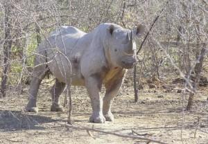 BlackRhino