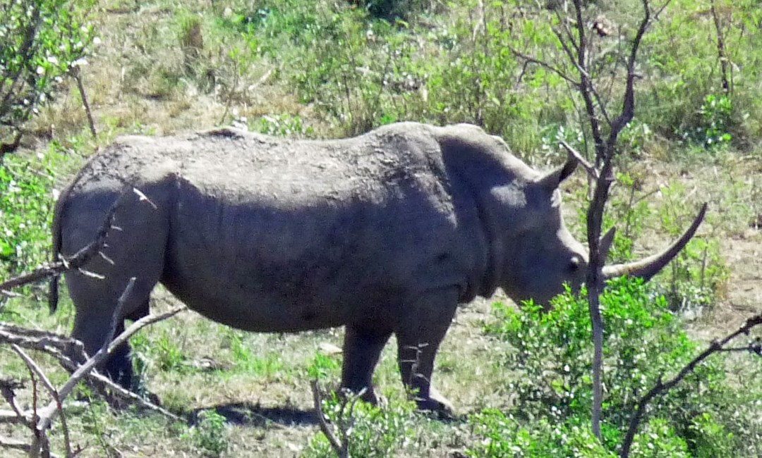 Corruption hindering South Africa's anti-poaching operations