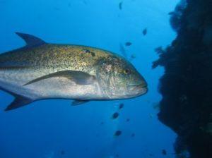 Source: http://www.similandivingtours.com/dive-sites/richelieu-rock-and-surin-islands/koh-chi
